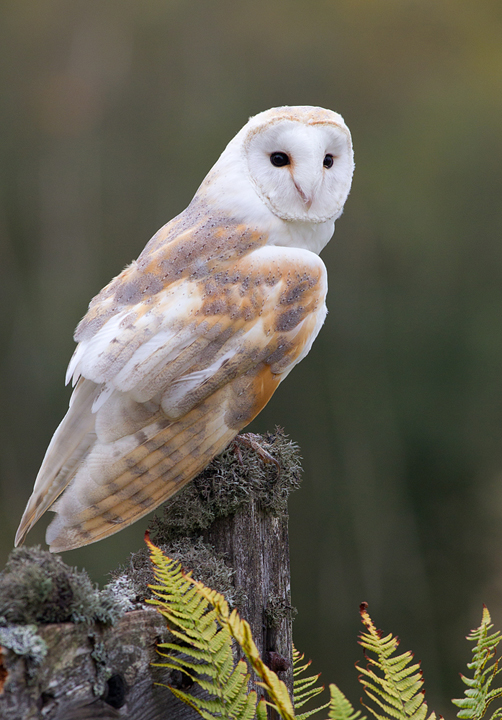 Barn Owl,Berwickshire,Scottish Borders.