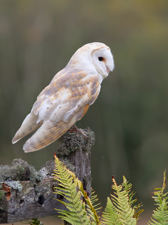 Barn Owl,Berwickshire,Scottish Borders