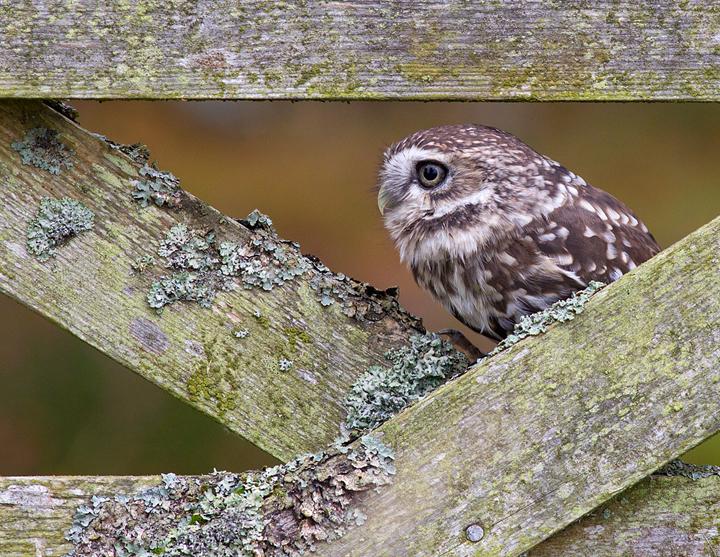 Little Owl,Berwickshire,Scottish Borders