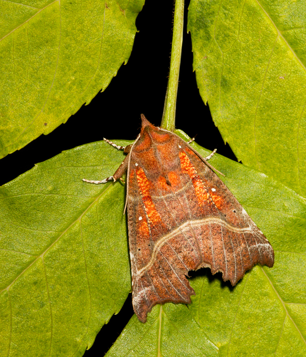 Herald Moth,Berwickshire,Scottish Borders