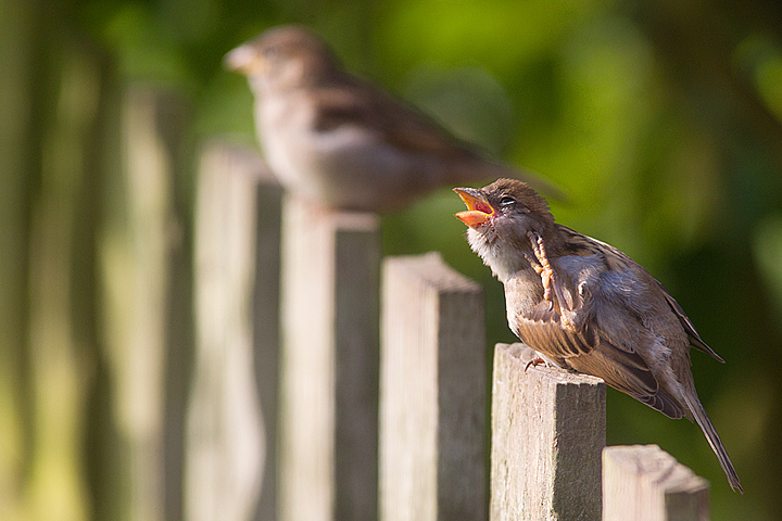 House Sparrows on fence.