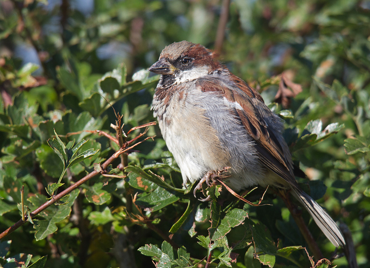 House Sparrow,Edington,Berwickshire.