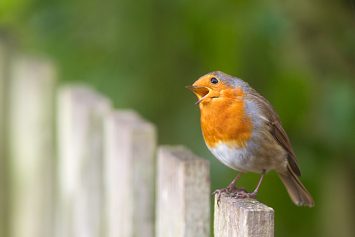 Robin singing on fence