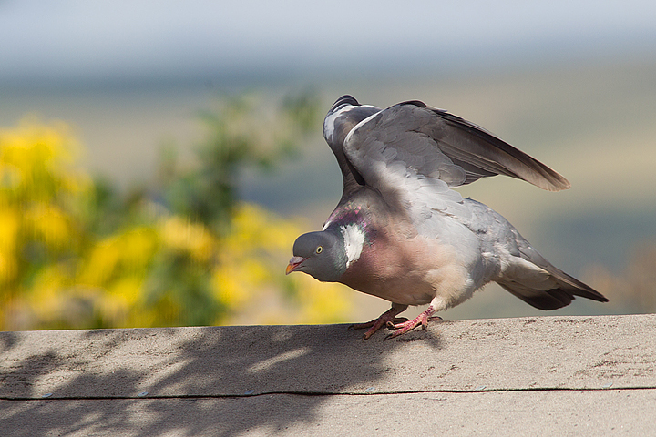 Woodpigeon on shed roof