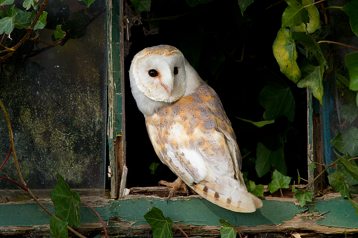Barn Owl in ivy window 1.