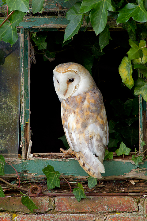 Barn Owl in ivy window.