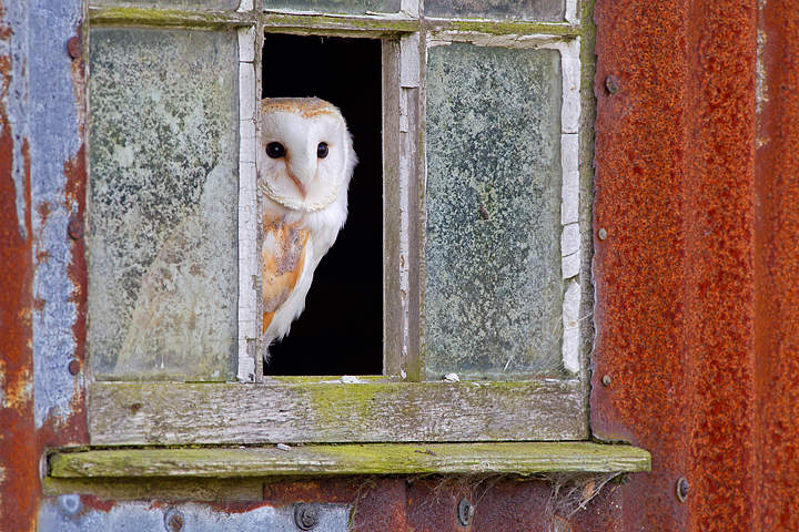 Barn Owl in window 1.