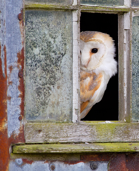 Barn Owl in window 2.