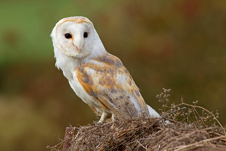 Barn Owl on iron gate 1.