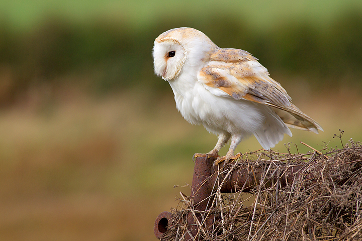 Barn Owl on iron gate 2.