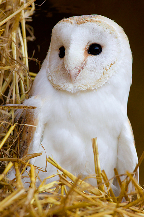 Barn Owl on straw bales 1.