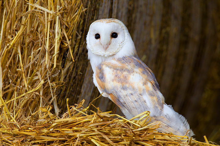 Barn Owl on straw bales 2.