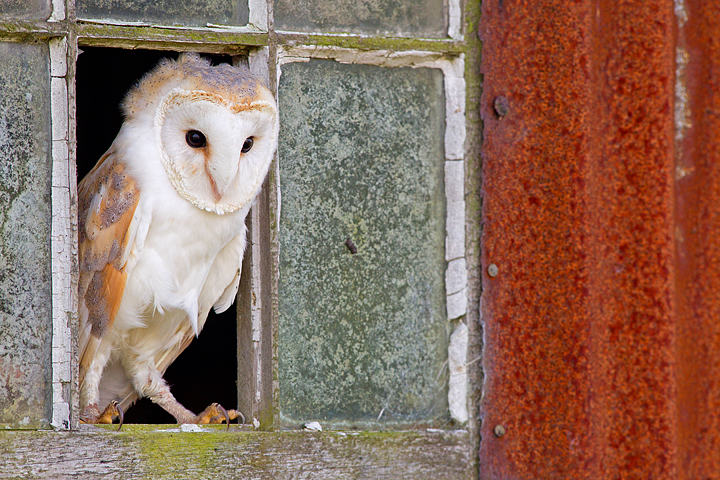 Barn Owl on window 1.