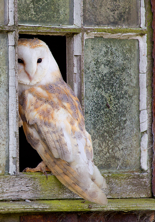 Barn Owl on window 2.