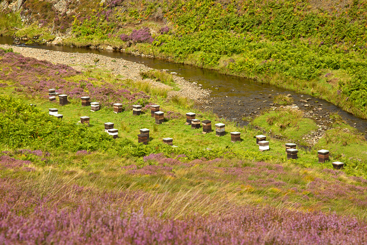 Bee Hives amid the flowering heather in the Lammermuir Hills,Scottish Borders.