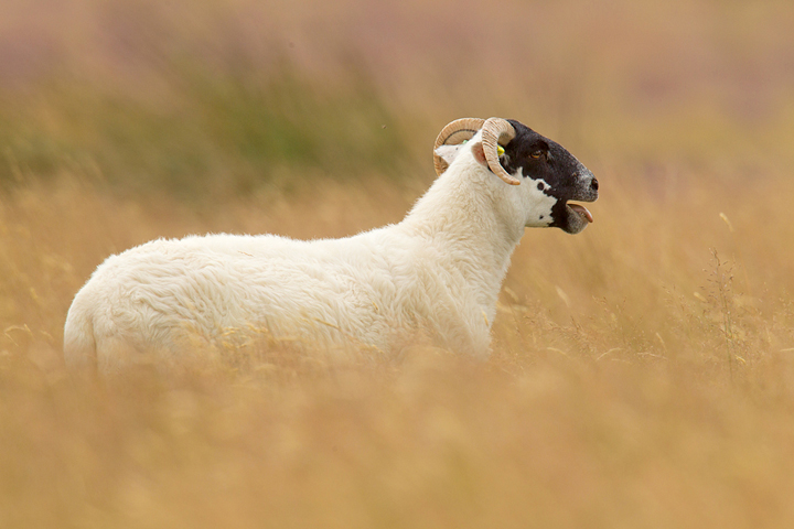 Black faced sheep,through the grasses, in the Lammermuirs.