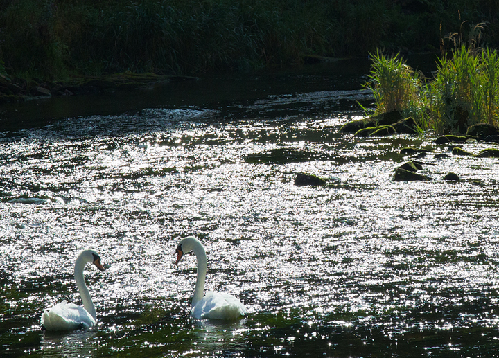 Contrasty Mute Swans on the River Whiteadder,Berwickshire,Scottish Borders.