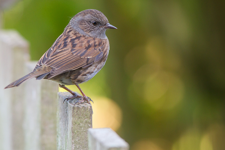 Dunnock on the garden fence.