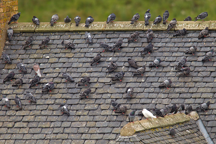 Feral Pigeons on an old roof in the Scottish Borders.
