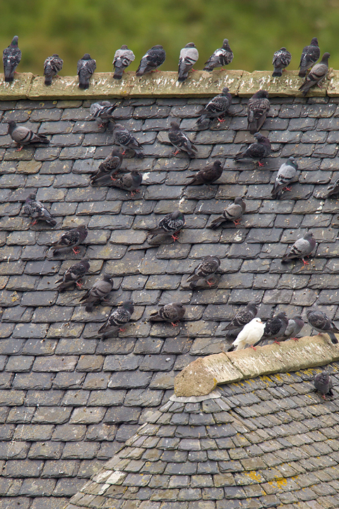 Feral Pigeons on a slate roof in Berwickshire,Scottish Borders.