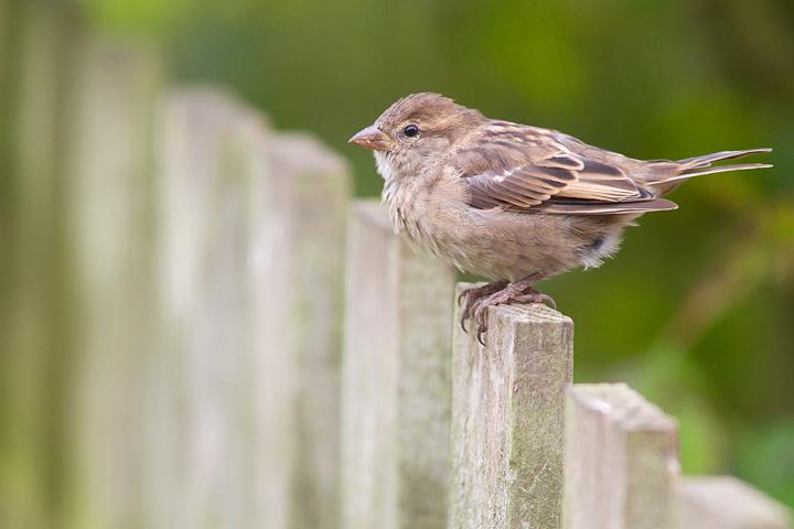 Fem.House Sparrow.
