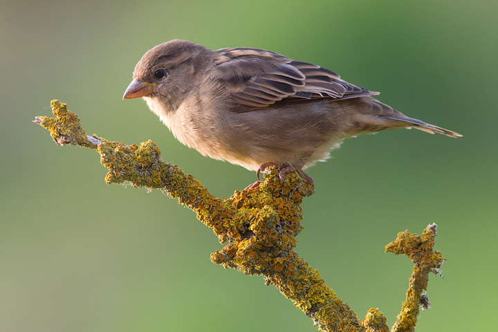 Backlit female house sparrow.These are by far the most common bird in my garden.