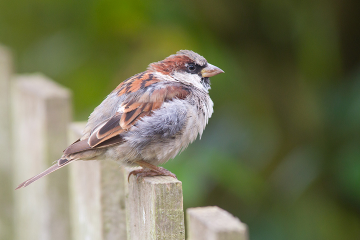 Young male house sparrow,in need of some grooming tips.