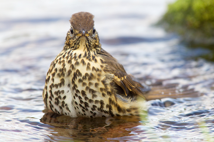 Song Thrush bathing in my little 5 foot square wildlife pond.