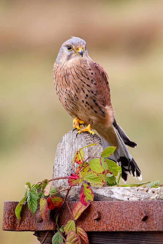 Kestrel,m on gate end.