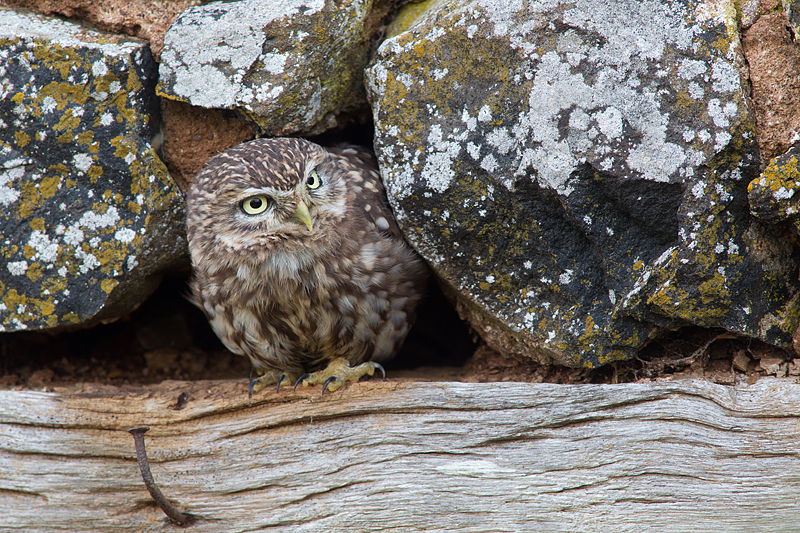 Little Owl and the nail.