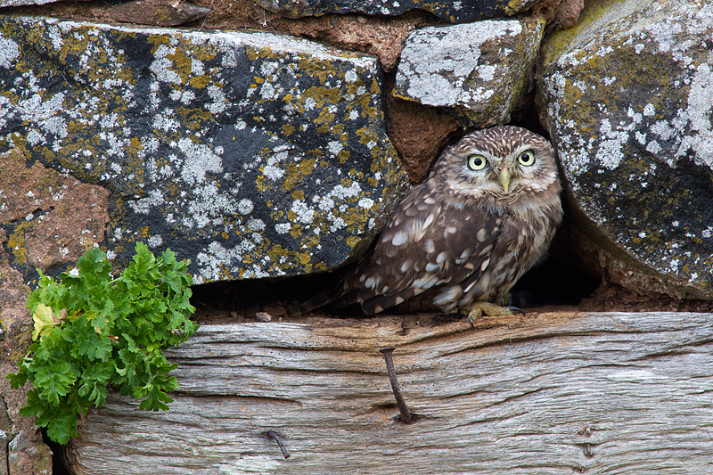 Little Owl in a hole in the wall.