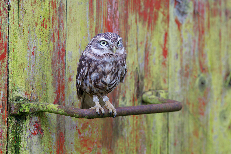 Little Owl on old disused feedbin handle.