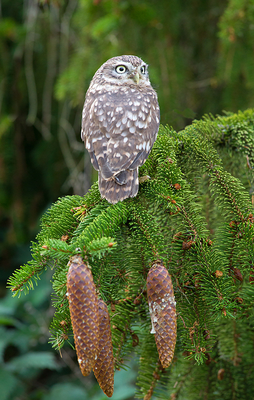 Little Owl and the spruce cones.