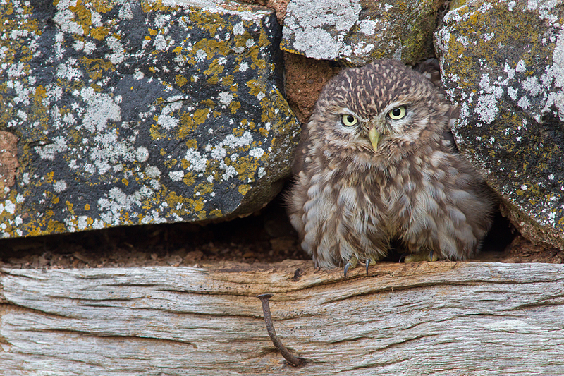 Fluffed up Little Owl.