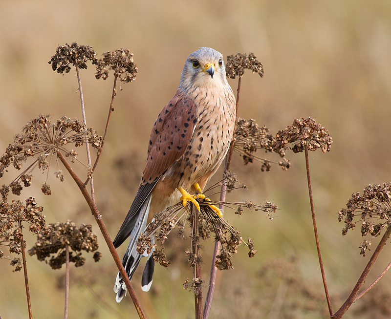 Male Kestrel on the lookout.