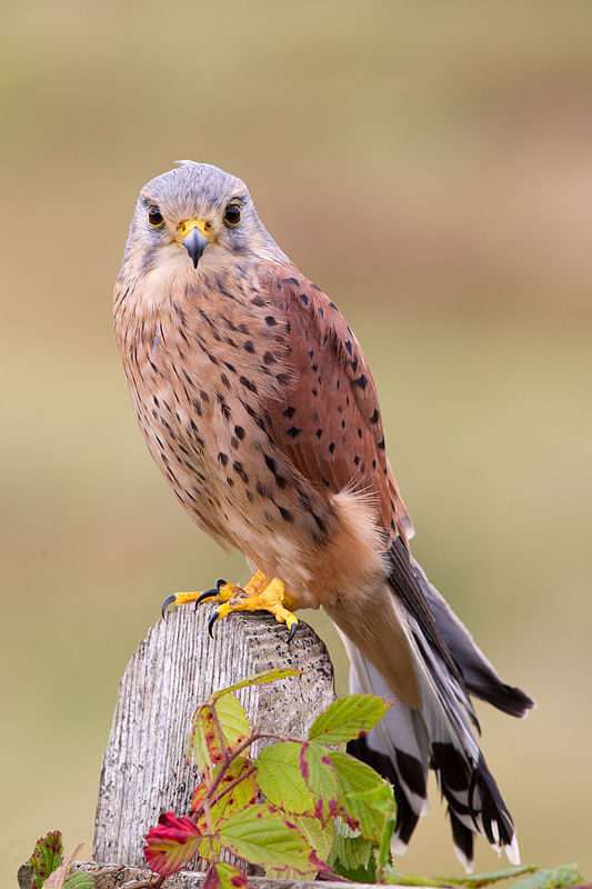 Male Kestrel on gate end.