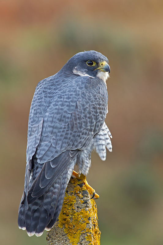 Beautiful Peregrine.