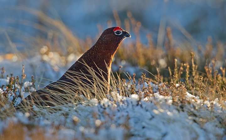 Backlit Red Grouse in frosty snow.