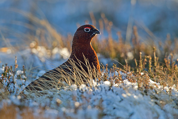 Backlit Red Grouse sat in the cold frosty snow.
