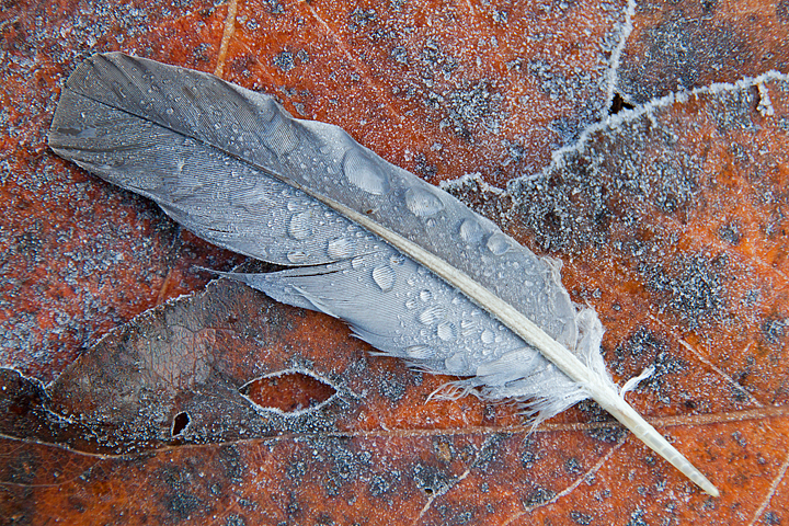 Woodpigeon feather and frosted leaves.