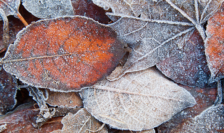 More frosted leaves.