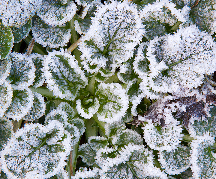 Frosted plants.