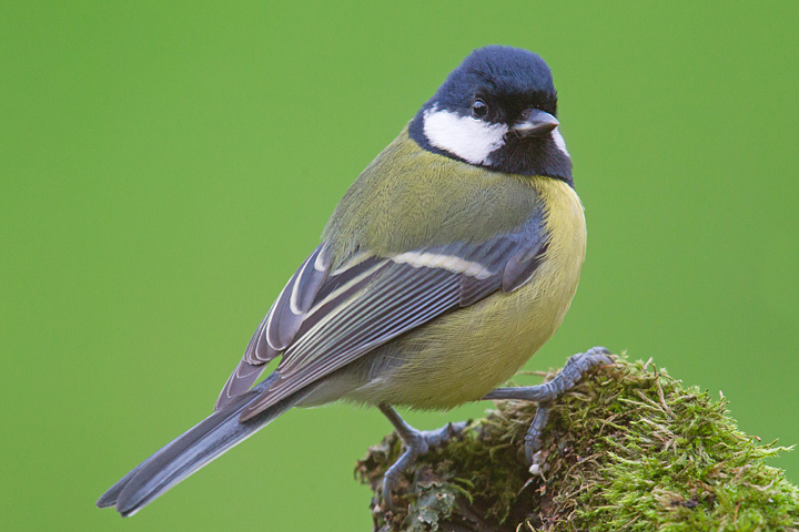 Great tit on mossy branch.