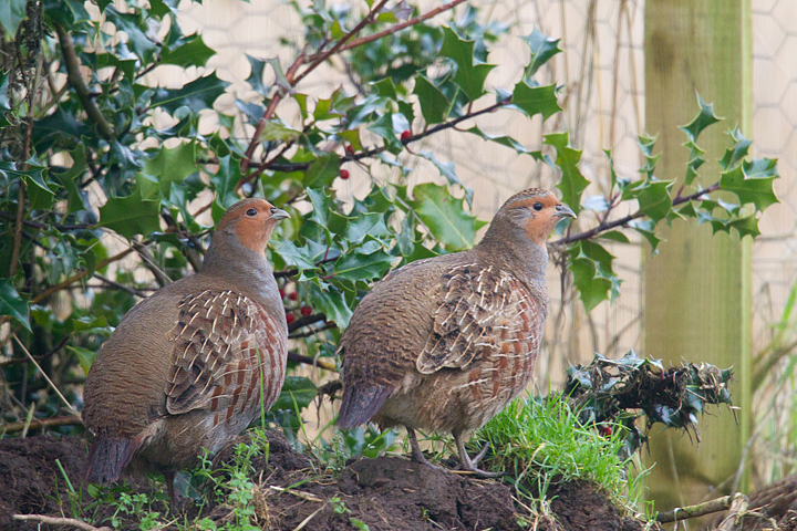 2 Grey Partridge.