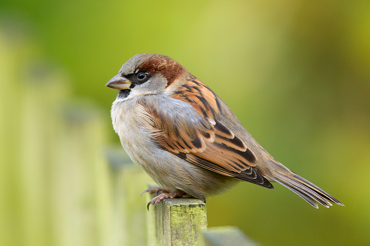 House Sparrow m.on fence.