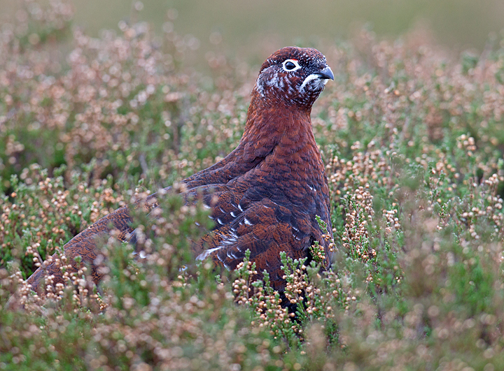 Red Grouse in the heather.