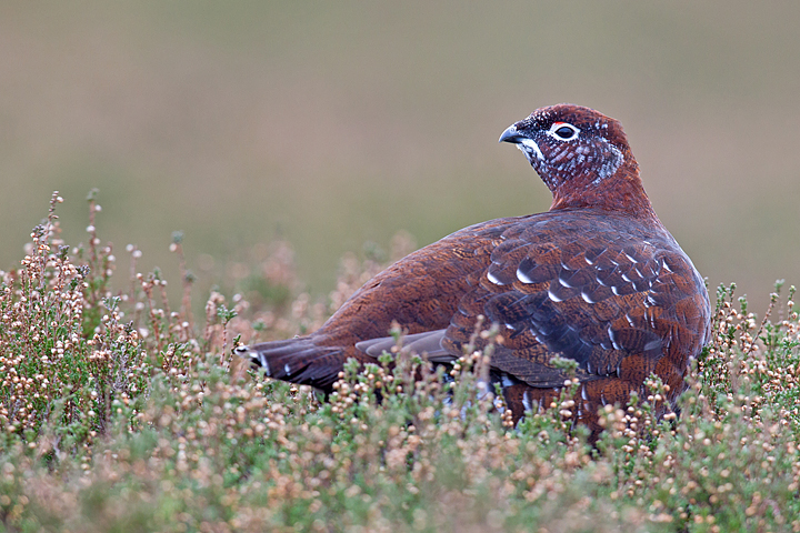 Alert Red Grouse.