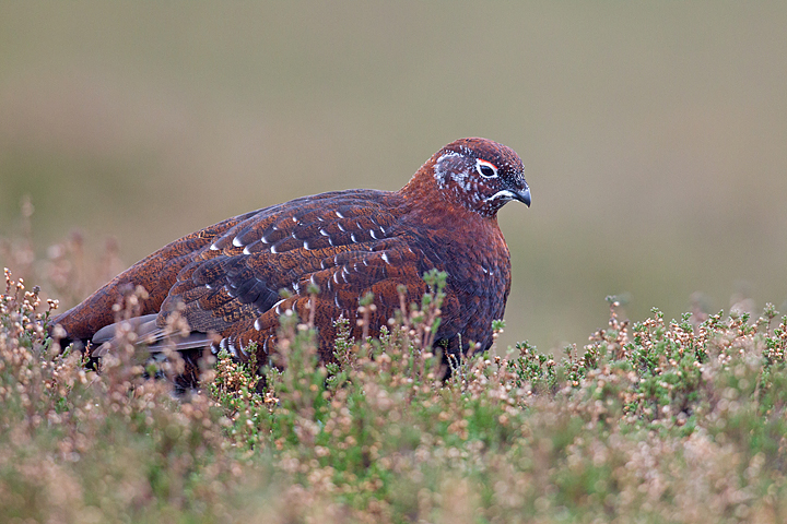 Red Grouse searching out that tasty new shoot.