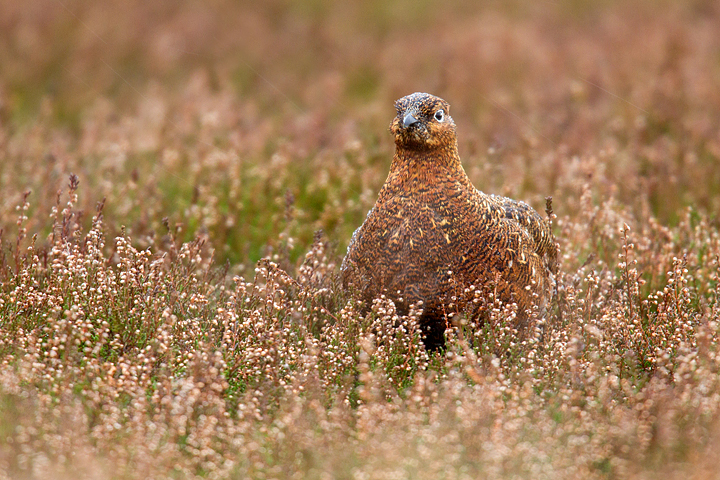 Red Grouse in the Lammermuirs heather.