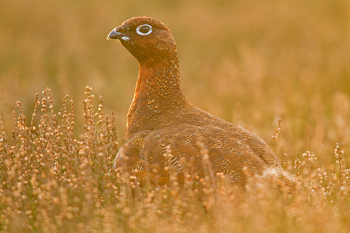 Another red grouse at the end of the day.